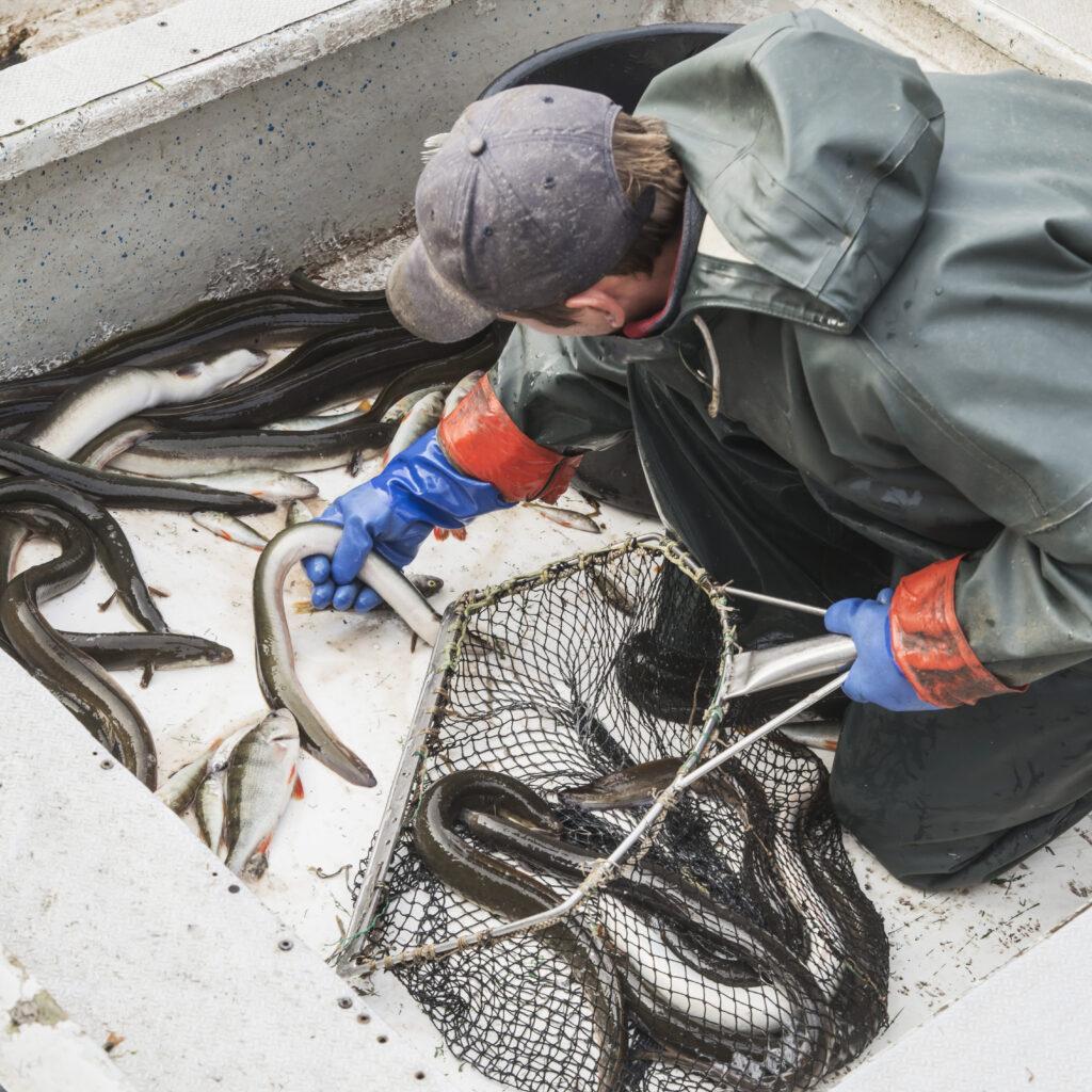 fiskare,ål,Skåne,fiskebåt,håv,nät