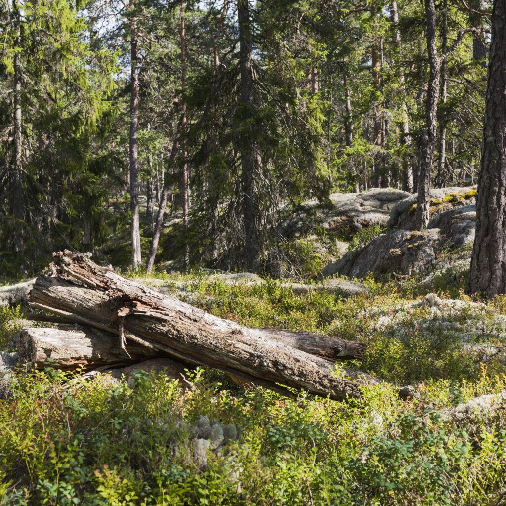 tall,träd,barrträd,berghäll,berghällar,res,skogsbruk