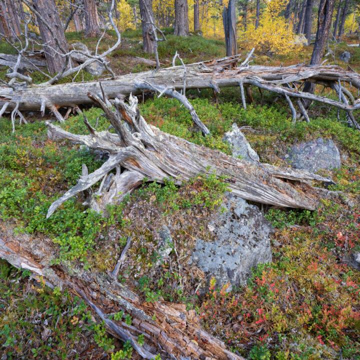 död ved,lingonris,stonar,stockar,grönold, tree, trunks, Aged, Scots pines, red, Blueberry leaves, Old-growth, pine, forest, Stora Sjoefallet National Park, Laponia Unesco World Heritage Site, Norrbotten, Lapland, Sweden