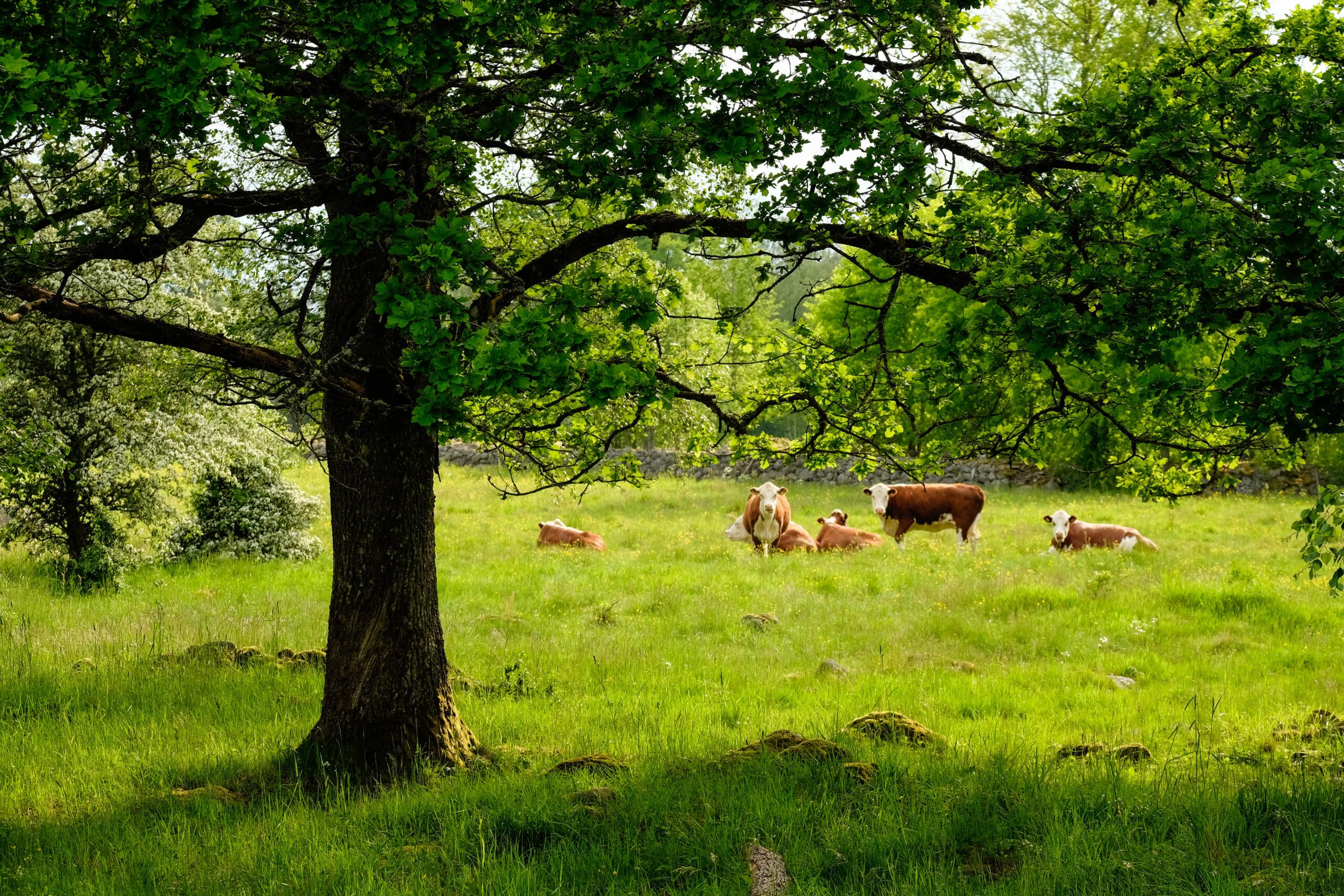 Kor i hage med träd
