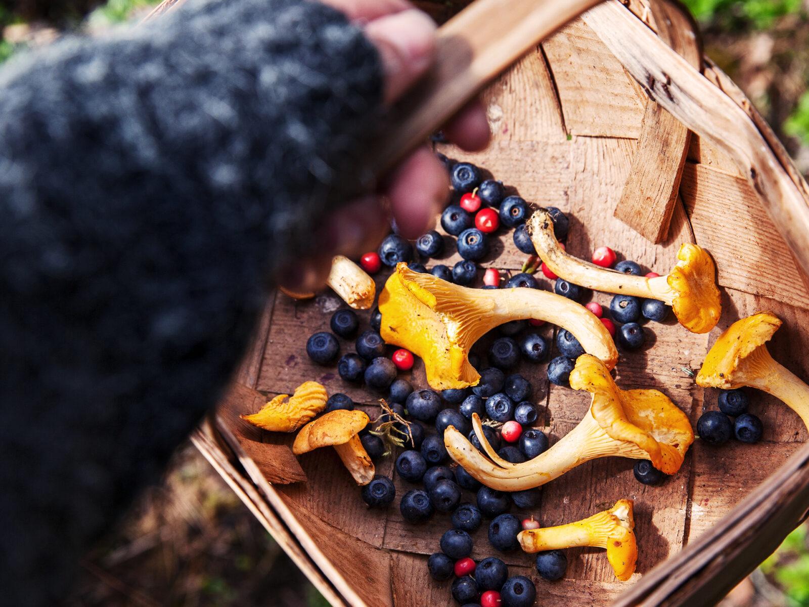 Korg med kantareller, blåbär och lingon.