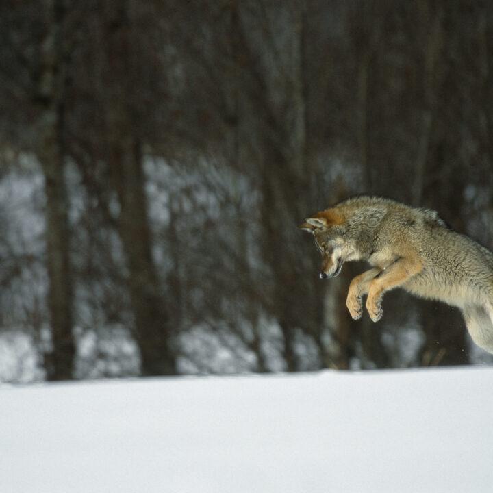 Varg hoppar i snö