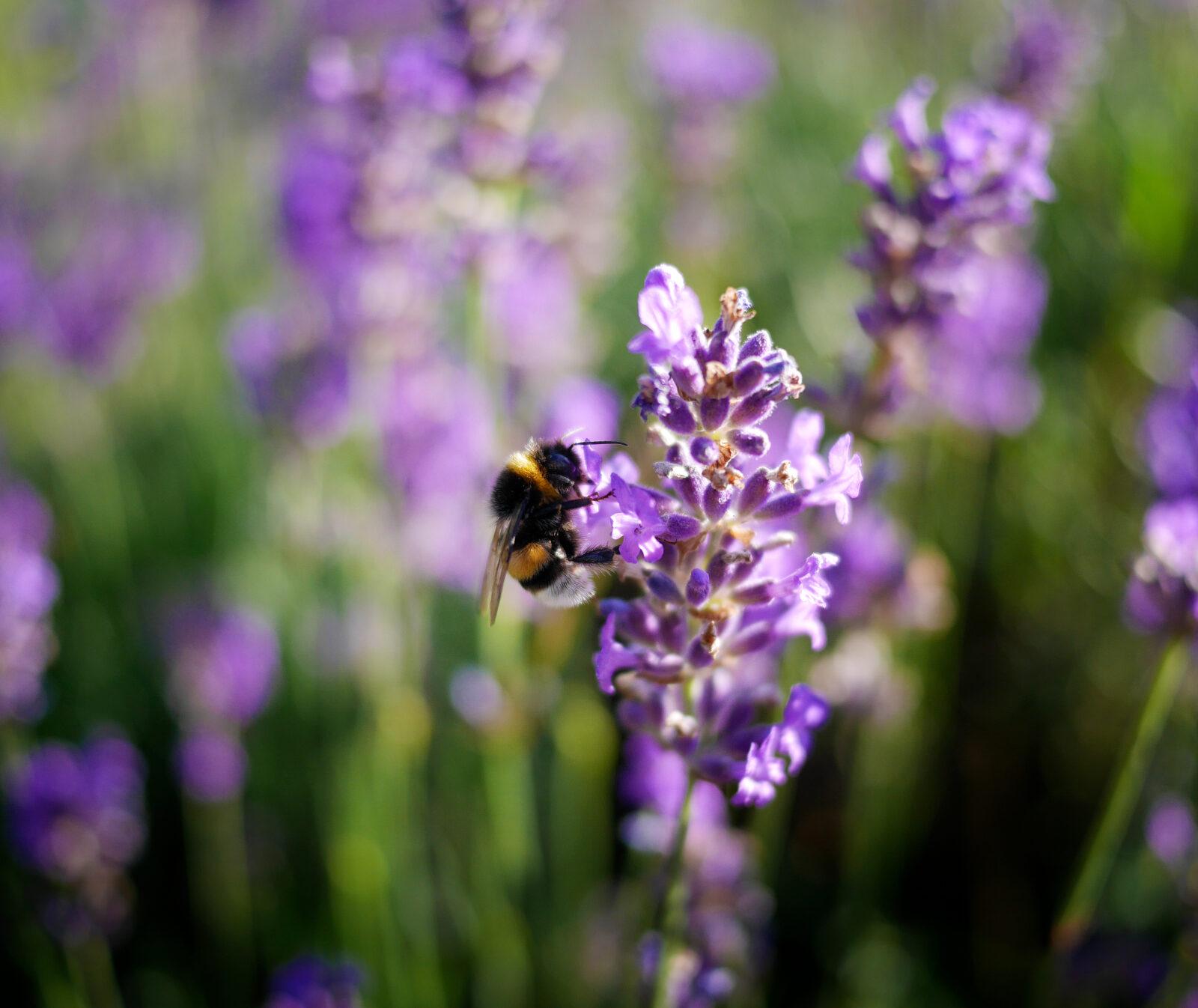 Humla på lavenderblomma. Operation: Rädda bina.