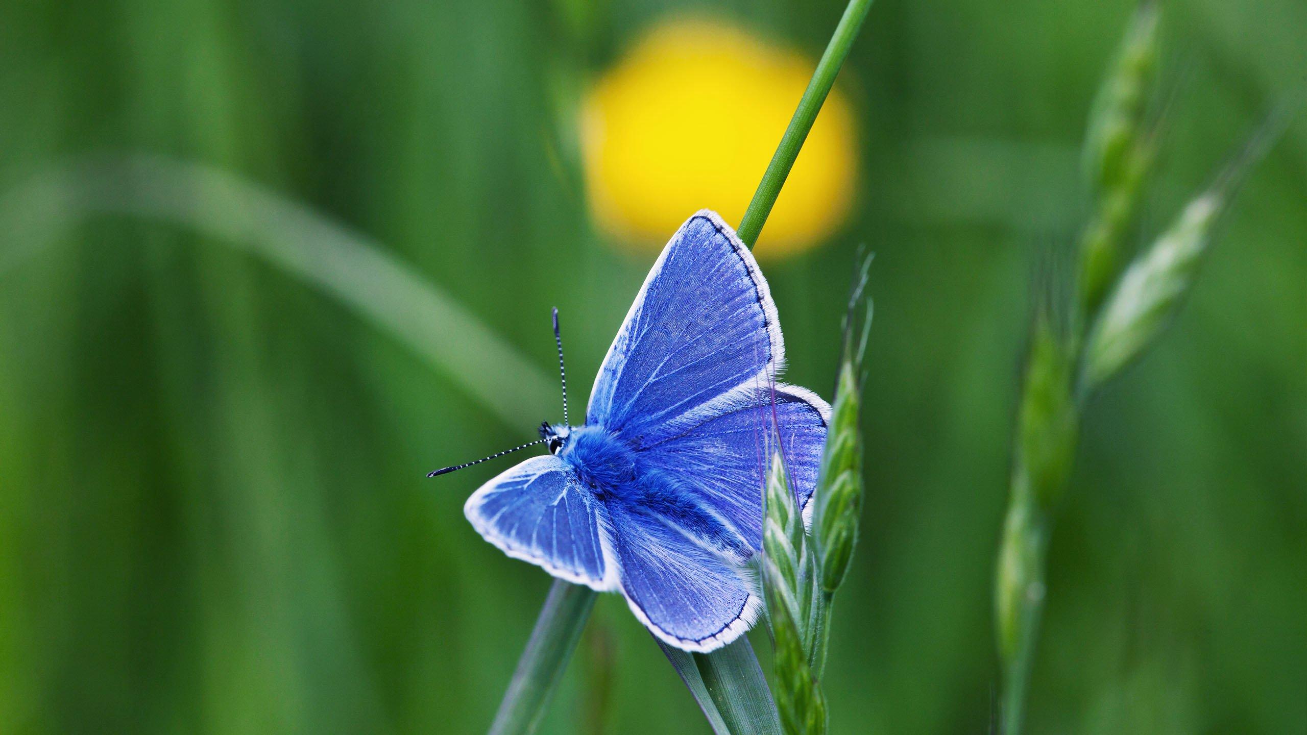 Puktörneblåvinge, blå fjäril på grässtrå.