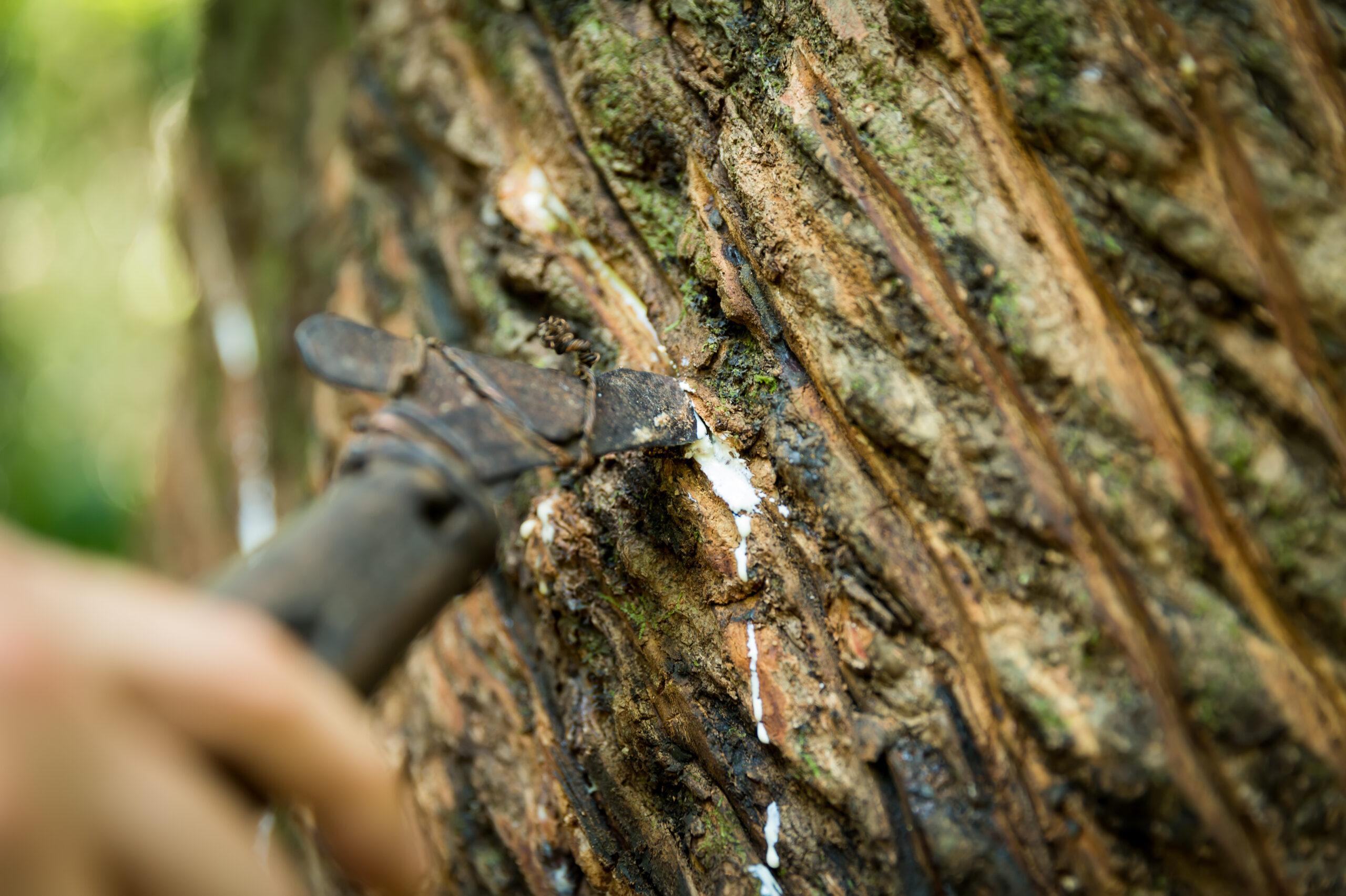 Latex utvinns ur ett gummiträd i Amazonas.