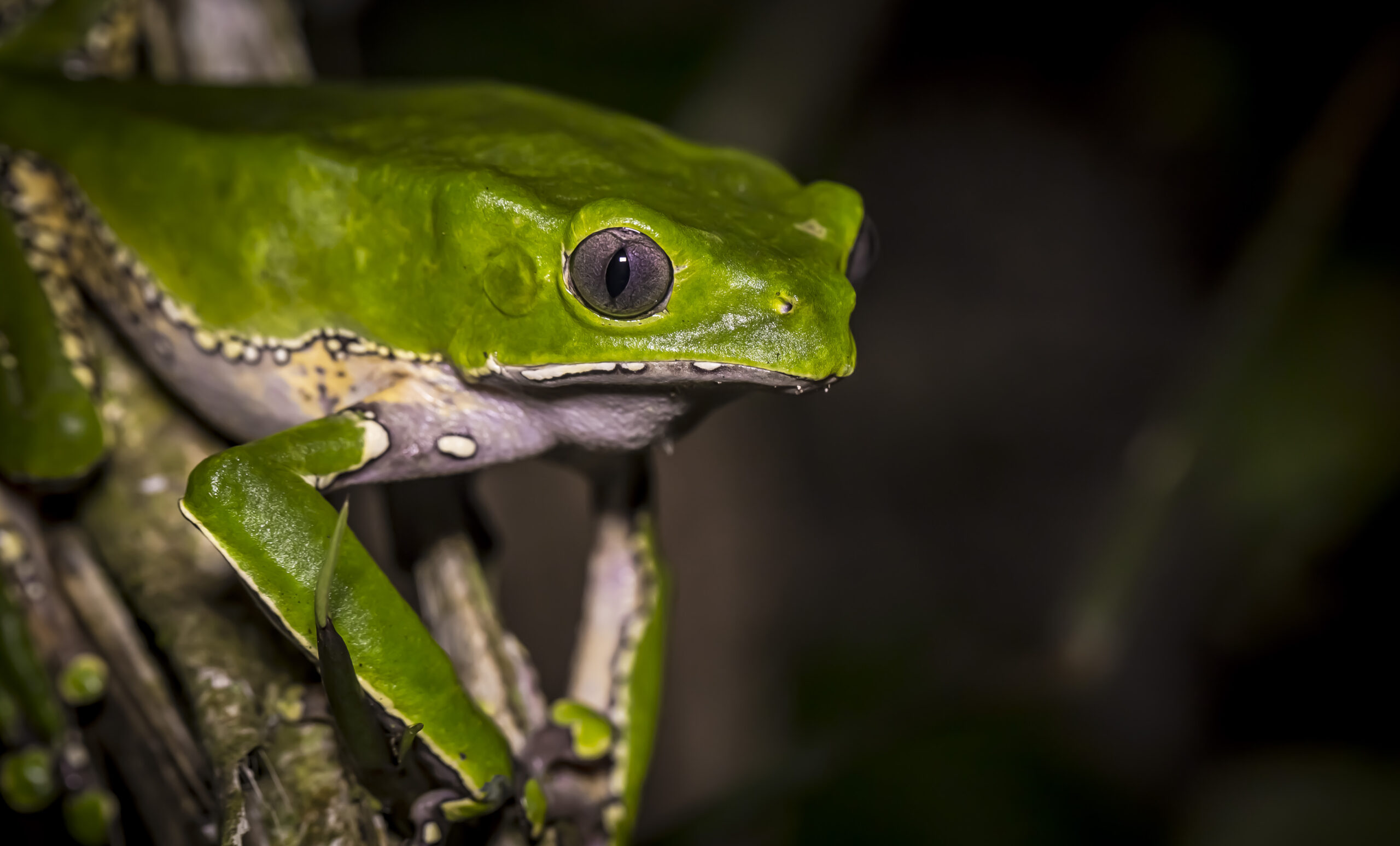 Många grodarter hotas av utrotning när Amazonas huggs ner, för de är så känsliga för förändringar i sin livsmiljö.