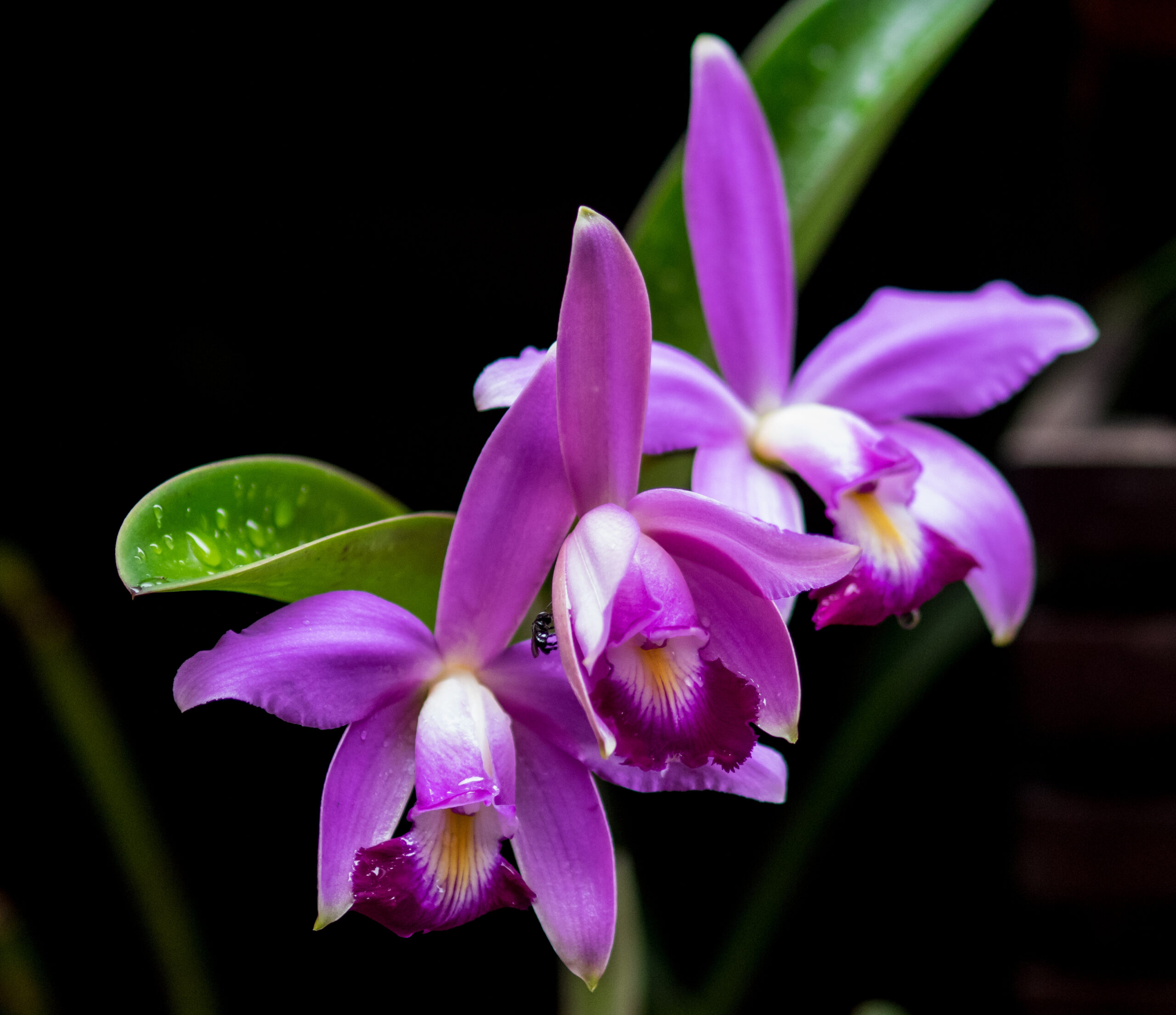 The purple coloured Cattleya eldorado is typically found in the Rio Negro basin, mainly within the Brazilian state of Amazonas. It is native of the Amazon region, usually flowers once a year, once the rainy season starts.