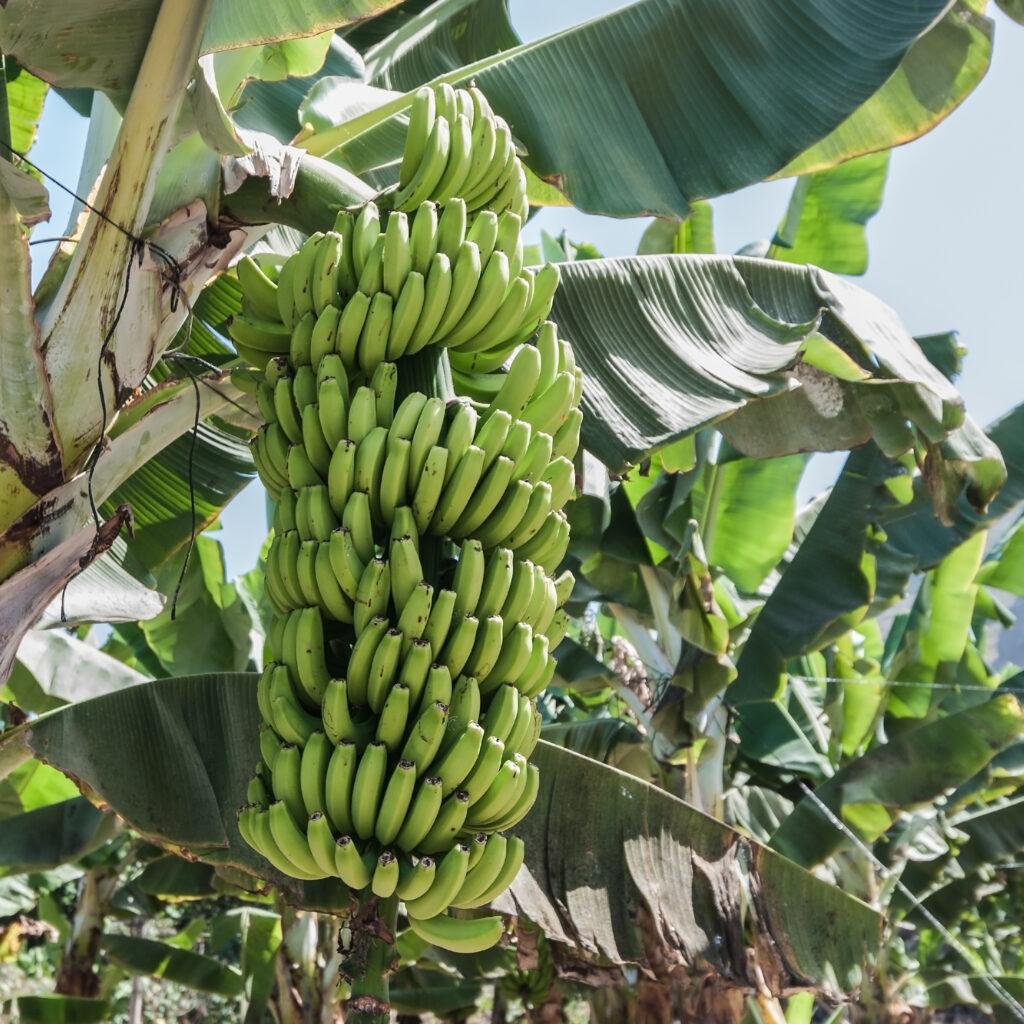Hur odlas bananer?. Bananklase på bananträd.
