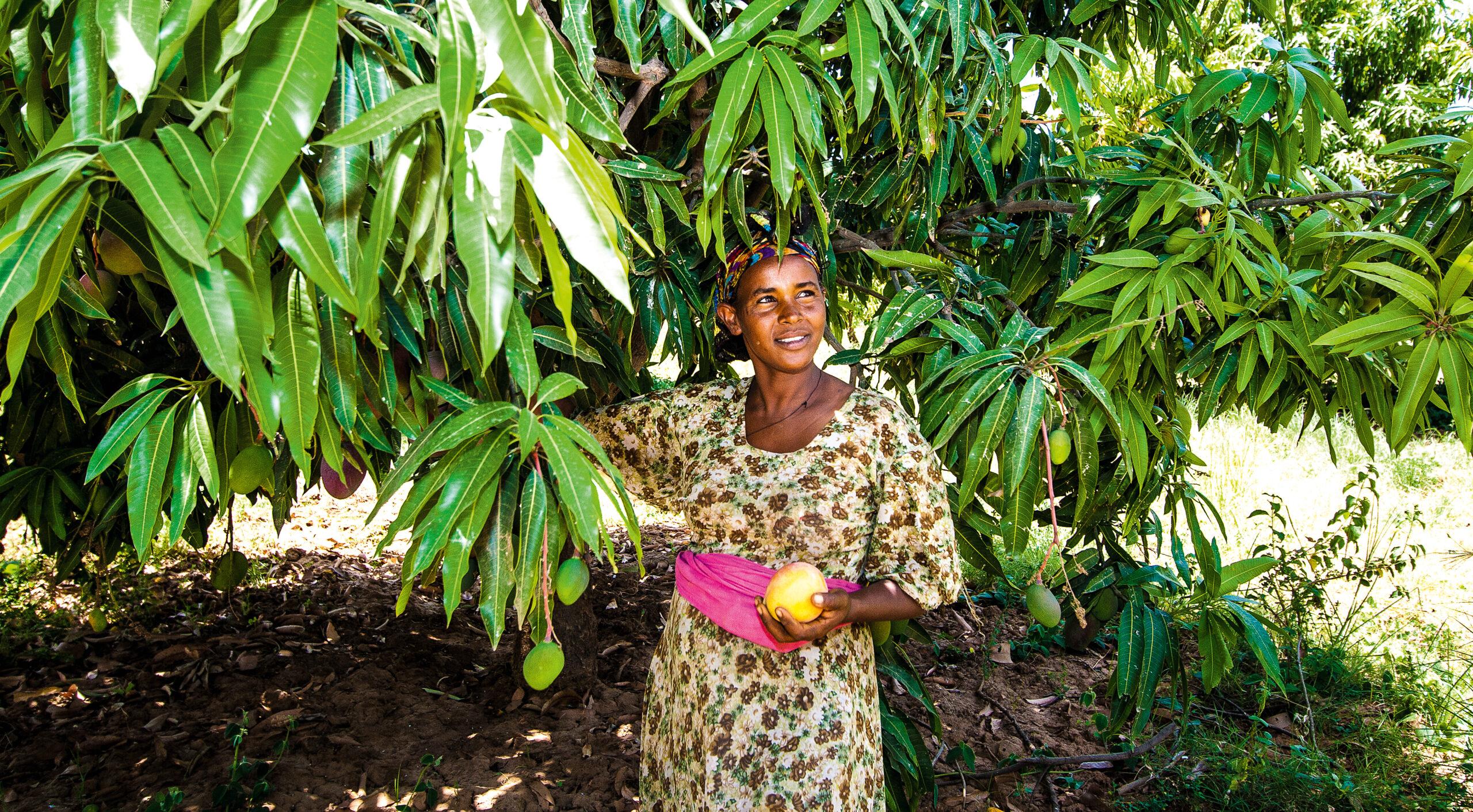 Odlaren Haregwa Gobegay har lyckats förvandla en stenig ravin i norra Etiopien till en ekologisk fruktträdgård med nära 7 000 mangoträd. Hon är en av de etiopiska småbrukare som tillsammans med vår samarbetsorganisation, Institute for Sustainable Development (ISD), lyckats vända utvecklingen i området. https://www.naturskyddsforeningen.se/nyheter/fran-stenig-ravin-till-ekologisk-frukttradgard