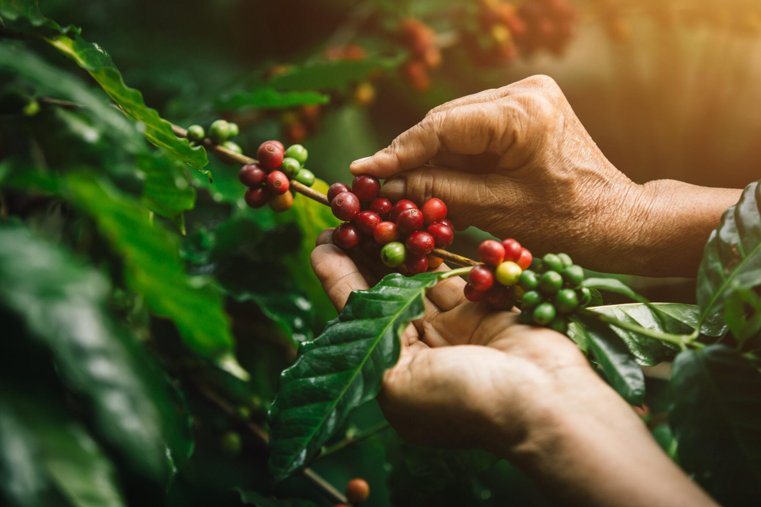 [coffee berries] Close-up arabica coffee berries with agriculturist handsNärbild på händer som skördar kaffe