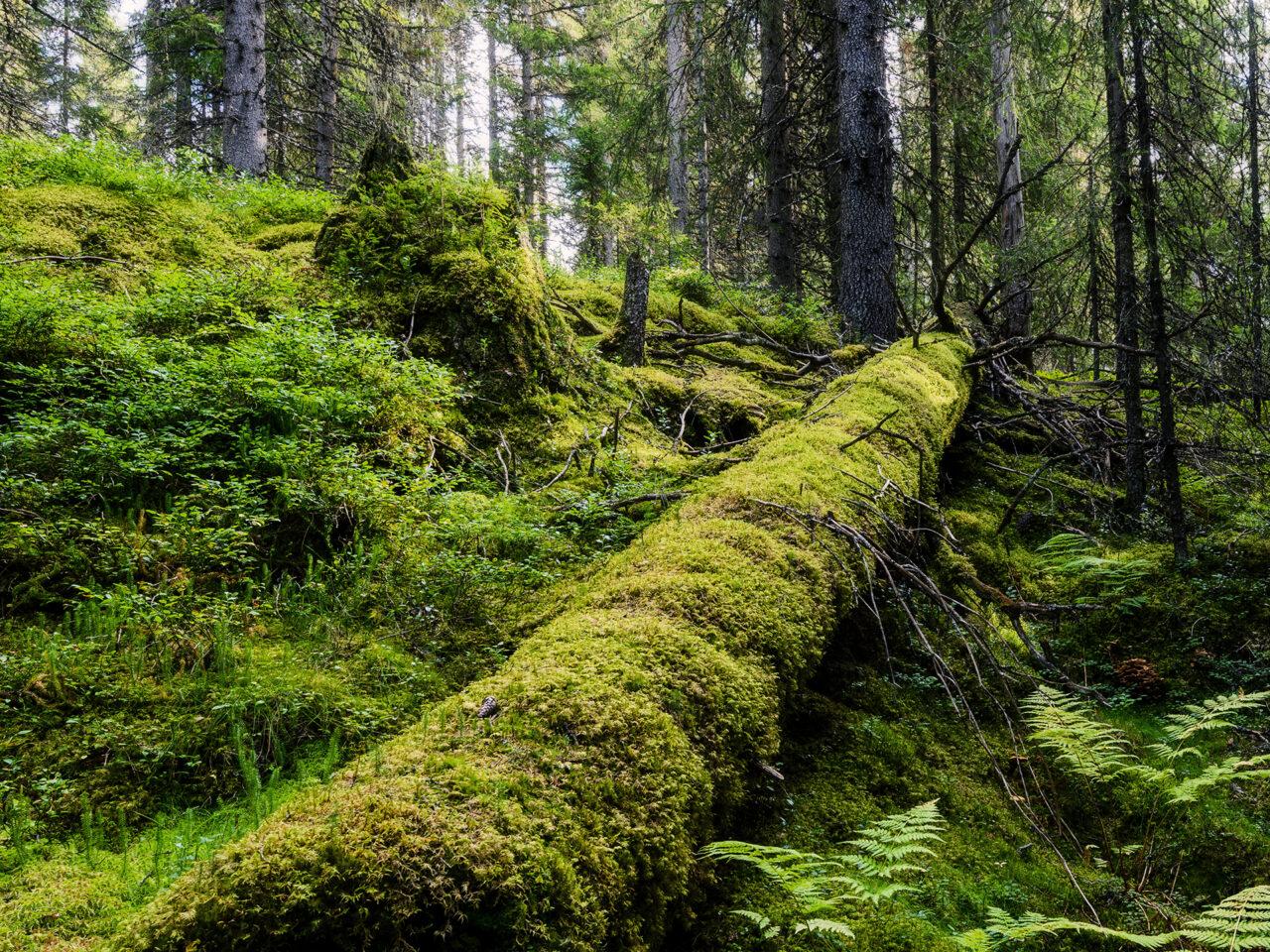 mossa, skog, stam, gammal skog, död ved, övervuxen, trädstam, grön, grönt,