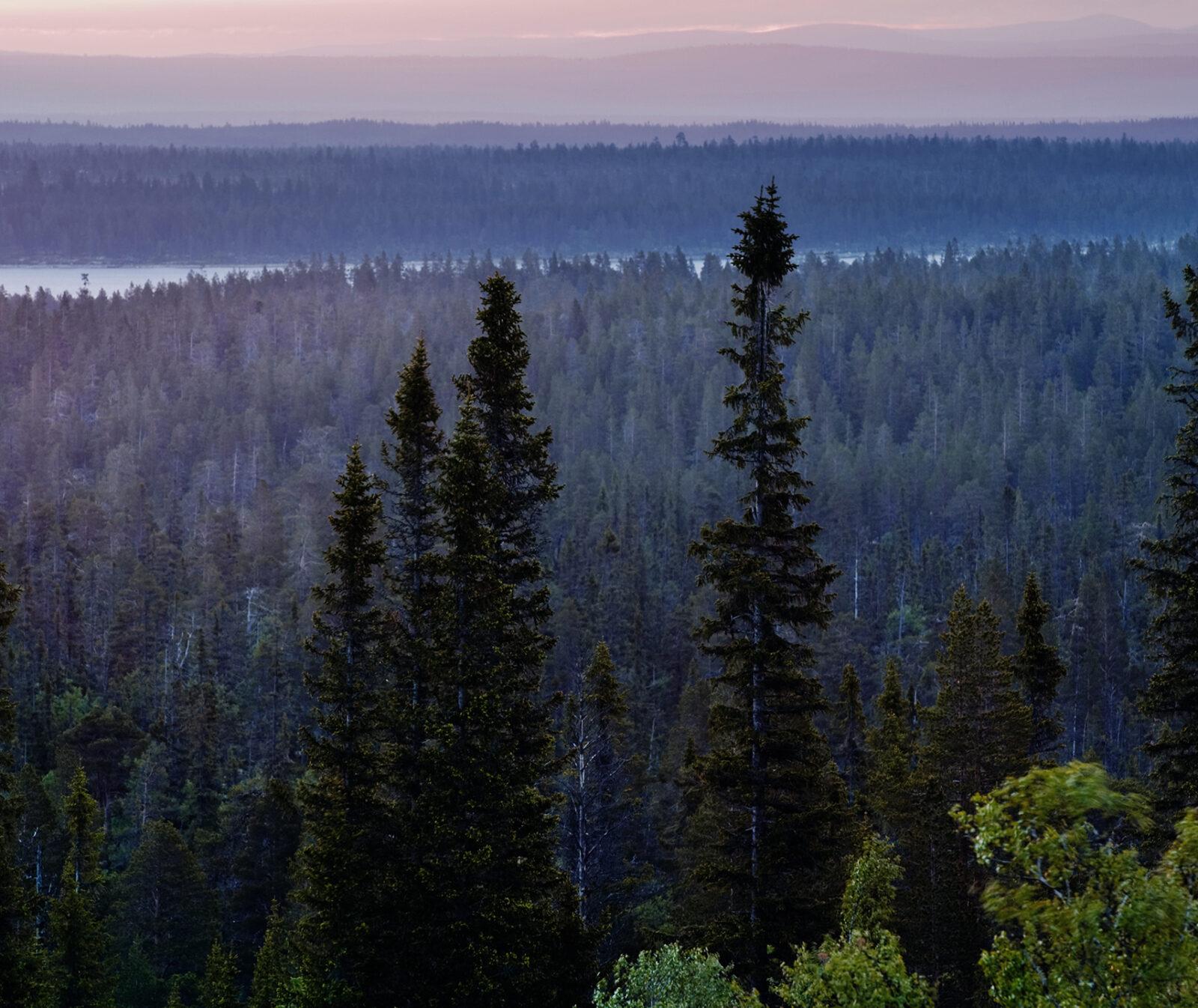 Dalarna, naturreservat, skog, natur, gran, granskog, landskap, trädtoppar,