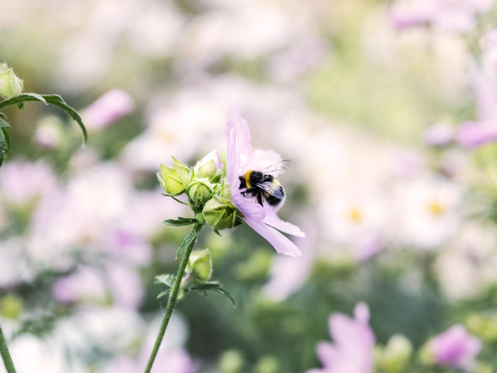 myskmalva, jordhumla, pollinering, humla, blomma, pollinerare,