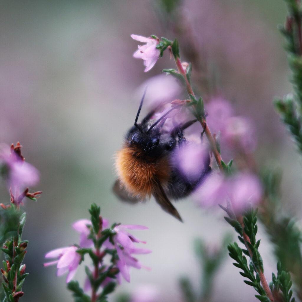 humla, ljung, blomma, pollinering, pollinerare,