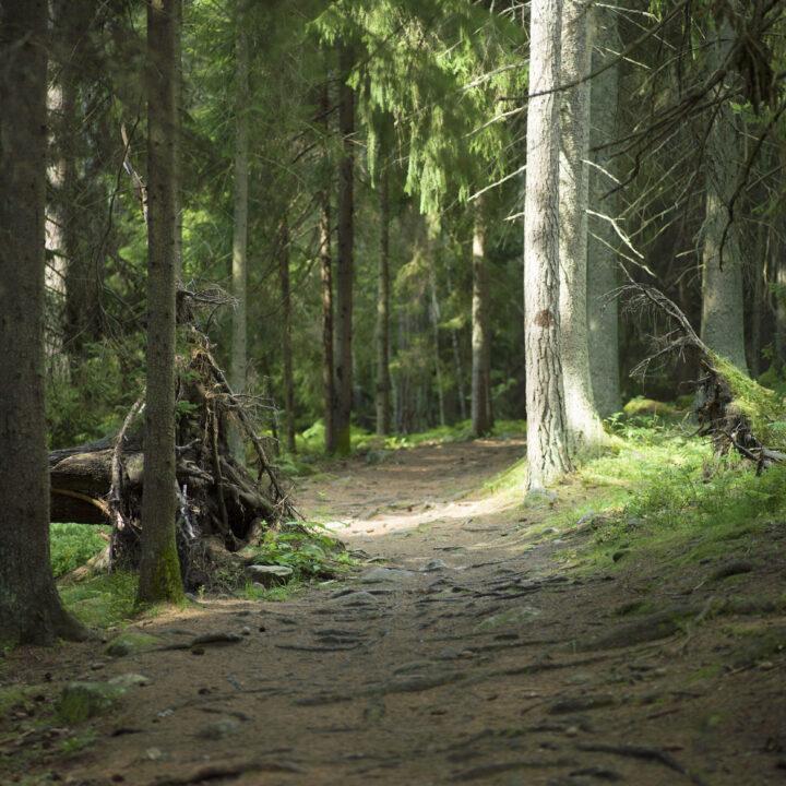 stig,träd,skog,rotvälta,rötter