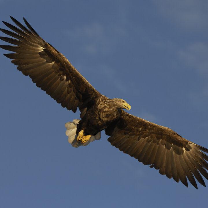 fågel,blå,örn,rovfågelbird, bird of prey, Haliaeetus albicilla, horizontal, Nord-Trondelag, Norway, Photoshelter, summer