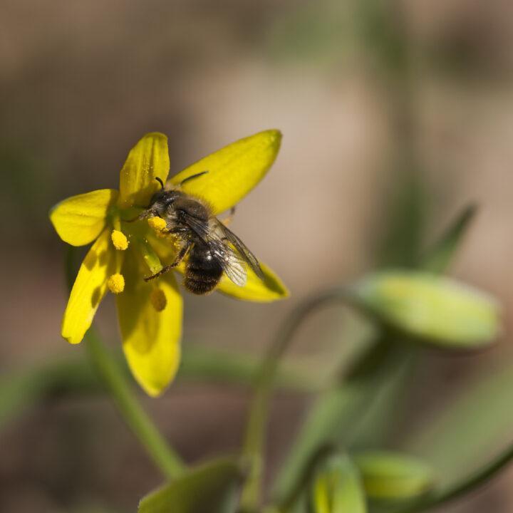 vårlök,blomma,bi,insekt,Insekter,Blommor,Bin,Vår,Vårblomma,Vårblommor,pollinera,pollinering,pollinerar