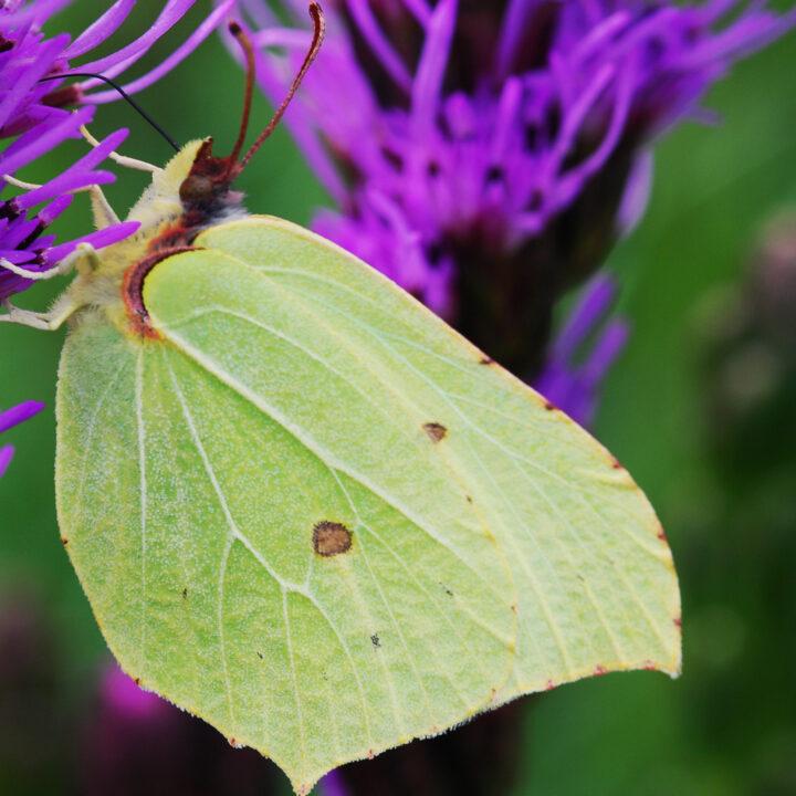 fjäril, citronfjäril, pollinatör, pollinering
