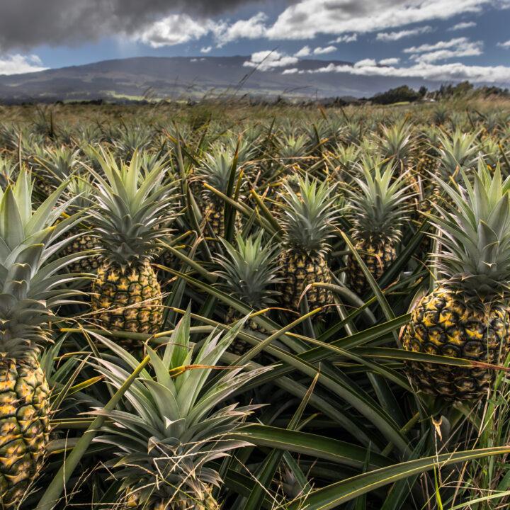 Ananas, ananasplanta, odling, fält, miljögifter, konventionell
