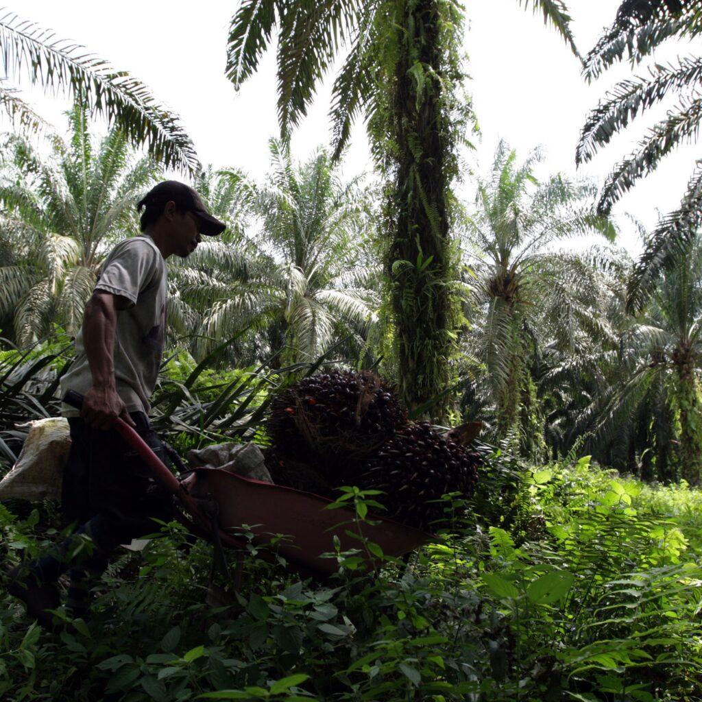 Arbetare skördar palmolja