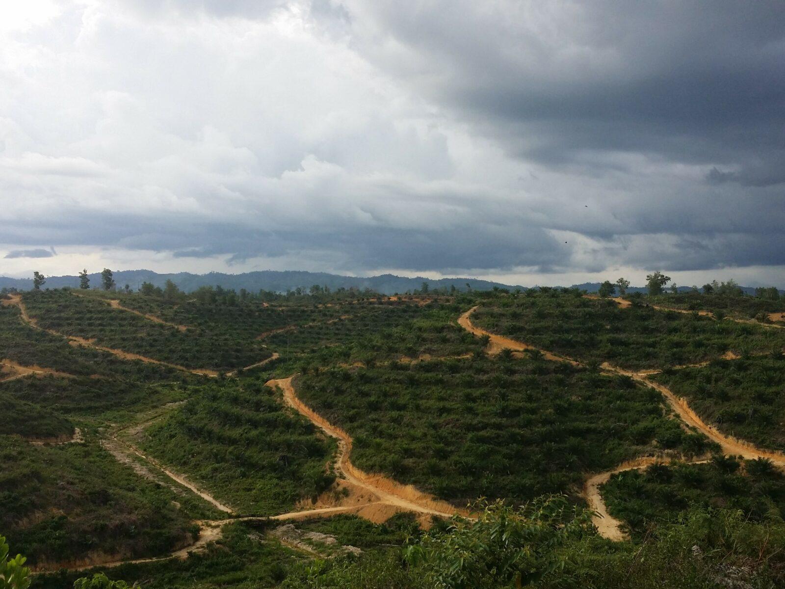 Palmolja, Olja, Oljepalm, Malaysia, Plantage, Odling, Exploatering, Palm oil, Oil, Palm trees, Träd