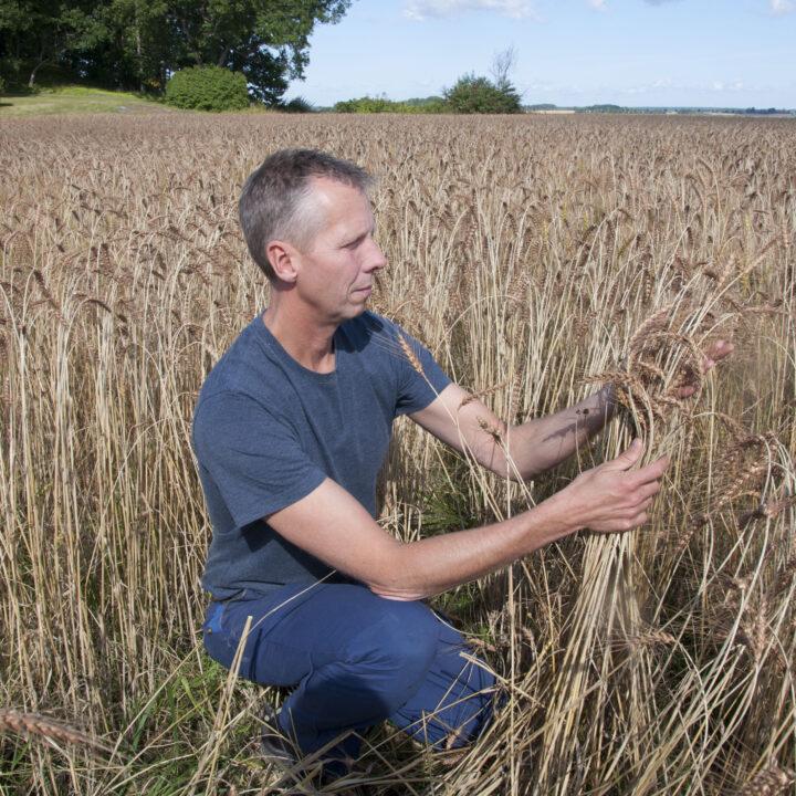 Spannmål Ekologiskt Odling