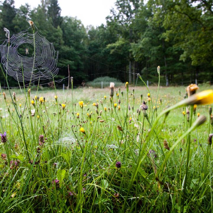 Vårda en äng: Blommor och gräs på en äng