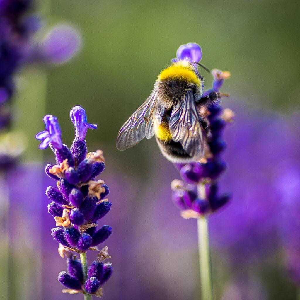 Djurliv, Djur i naturen, Naturens skönhet, Humla, Närbild, Dag, Blomma, Fräschör, Insekt, Lavendel, Naturen, Inga människor, Ett djur, Utomhus, Växt, Växtstam, Selektivt fokus, Solljus