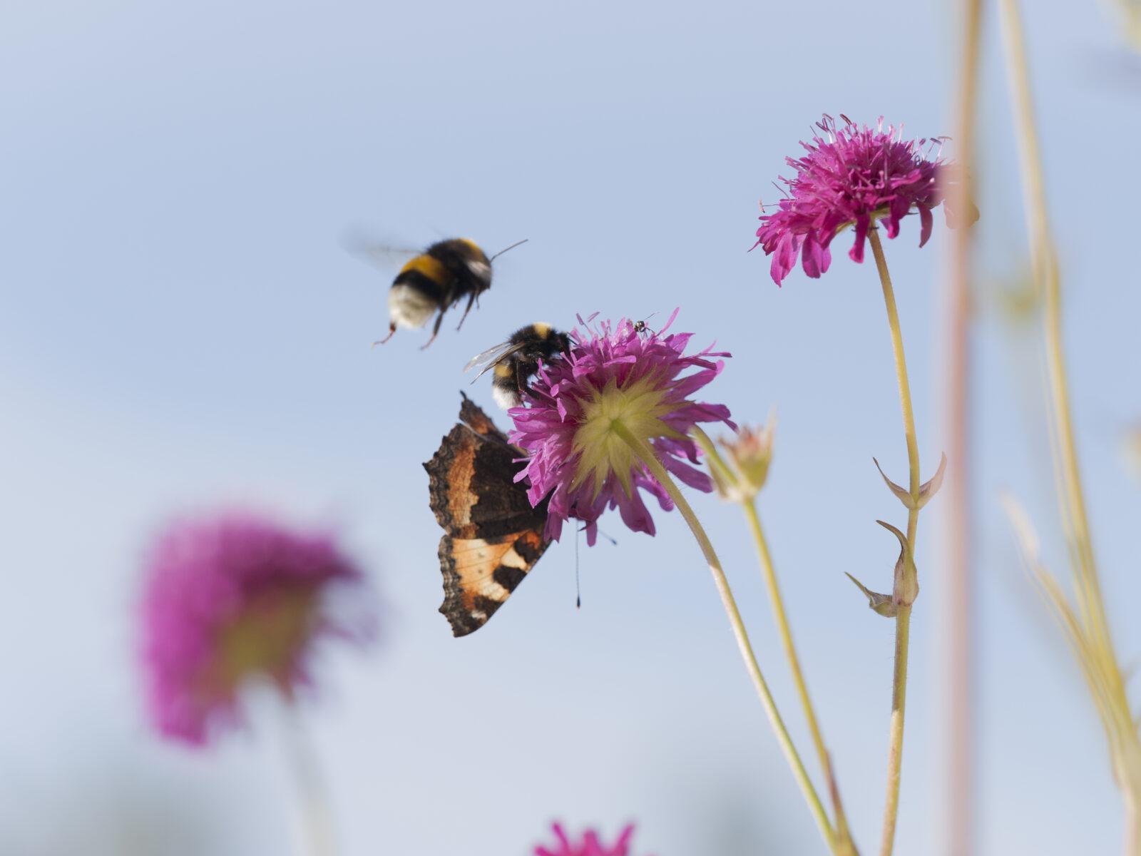 grekvädd,blomma,blommor,växt,växter,humla,humlor,insekt,insekter,nässelfjäril,fjäril,fjärilar,pollinera,pollinerar,pollinering