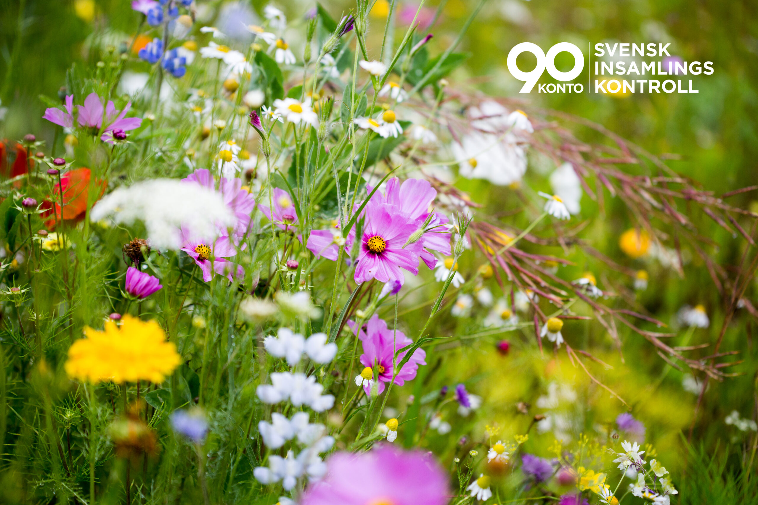 blommor, sommar, äng, prästkrage, vilda, 90-konto