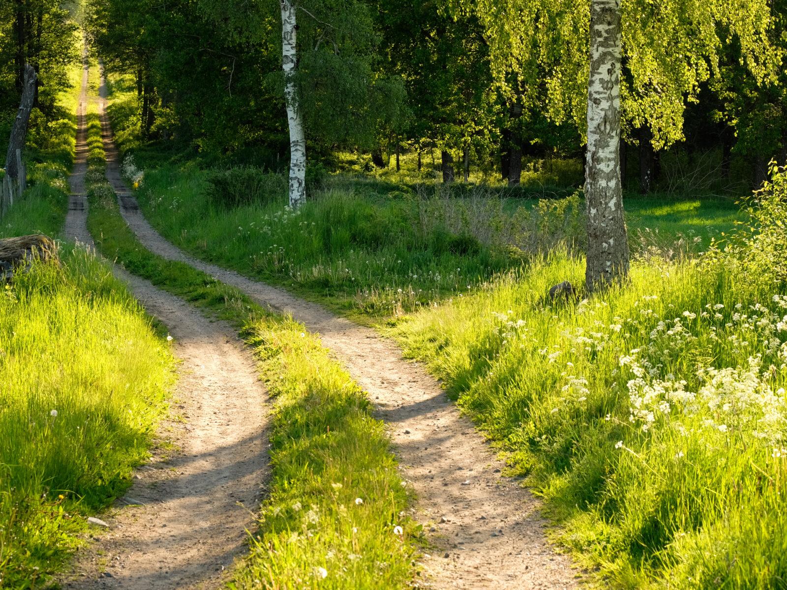 skog,väg,grön,grusväg,gräs,träd,björk,sommar,blommor
