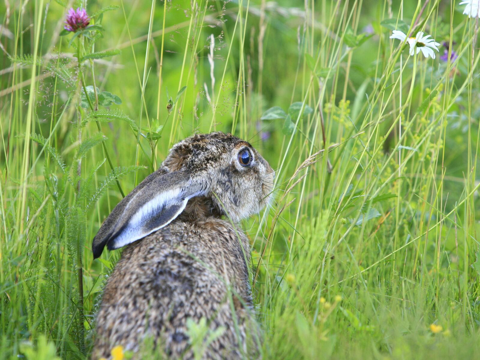 Hare,Småvilt,skog,Åker