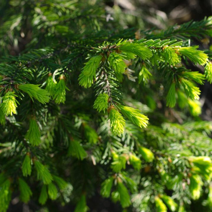 Granskott: en av många växter man kan äta