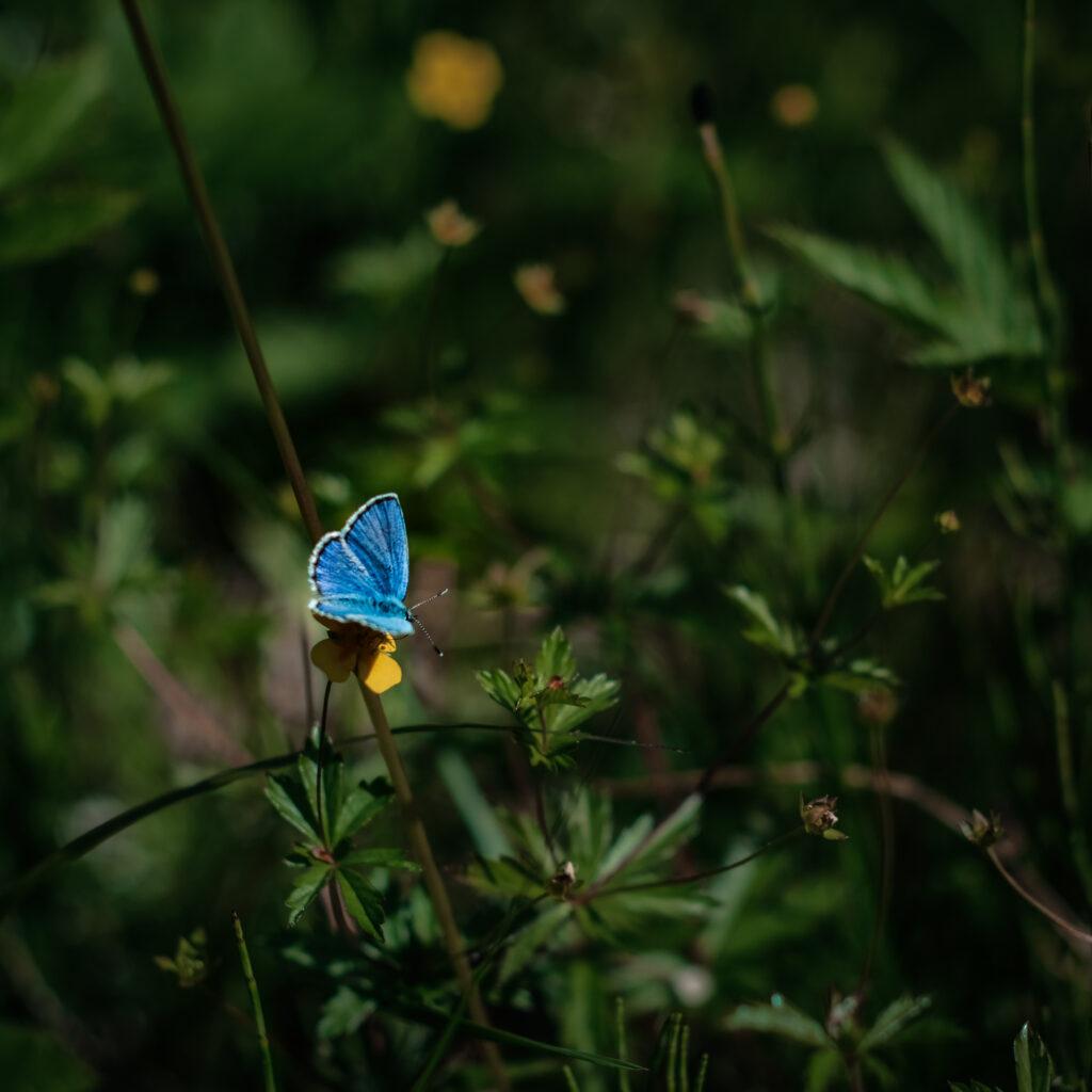 butterfly, macro photography, moths and butterflies, green, blåvinge, fjäril, sverige, östersund, äng, pollinering,