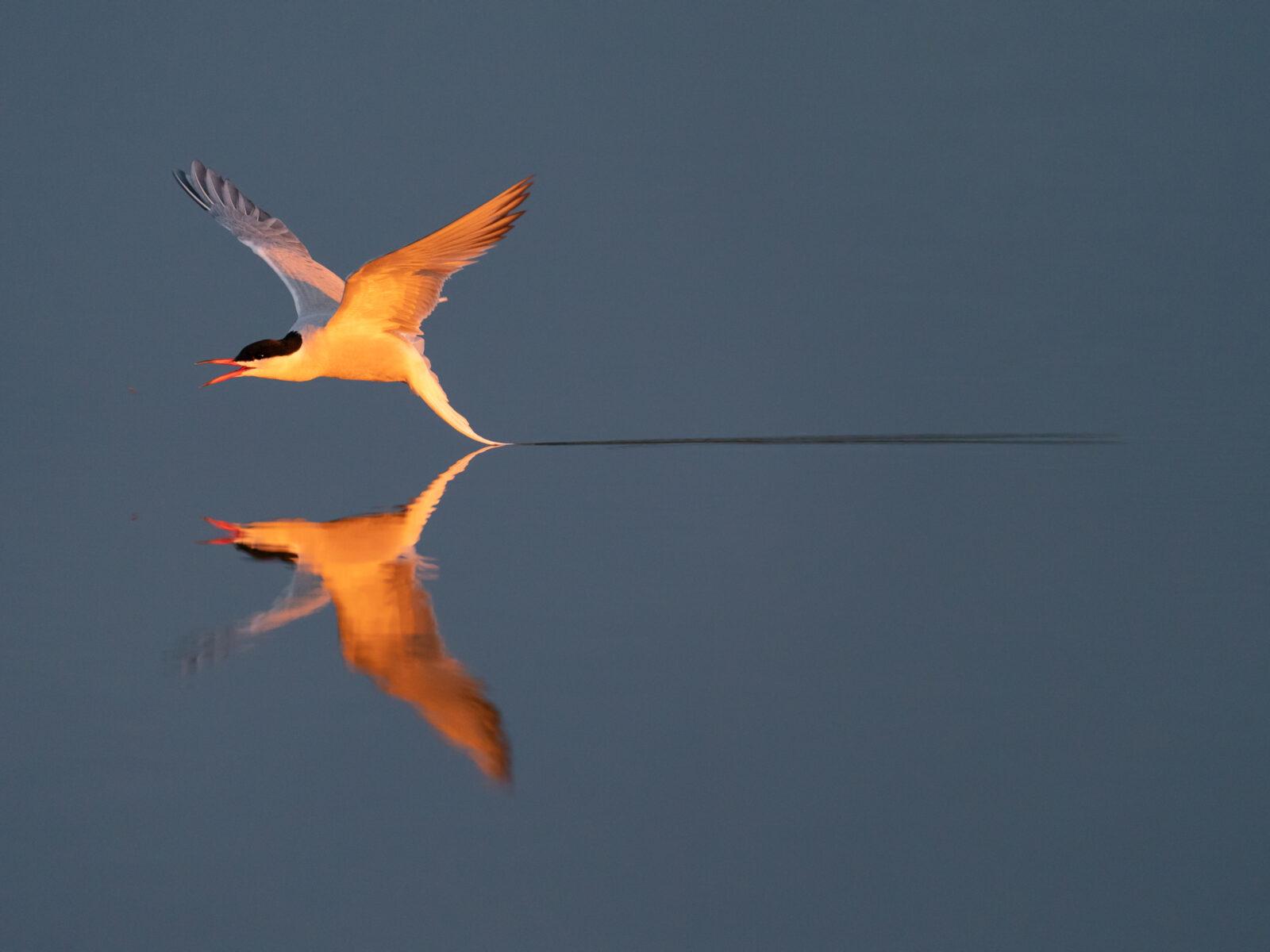 fågel,tärna,sjöfågel,vatten,spegelbild,blåbird, Arctic tern, fly, in flight, reflection, water, Sterna hirundo, Hjalstaviken, Uppland, Sweden