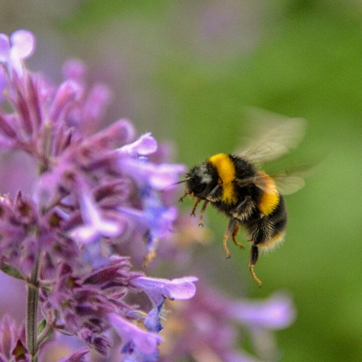 blomma, bi, grön, sommar, pollinering, klimat, biologiska mångfalt, natur, solig, gul