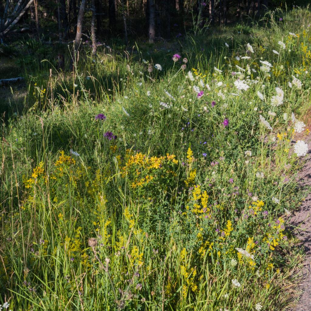 vildblommor, vilda blommor, vilda, visa, ogräs, solbelyst, natursköna, prydnads, landskap, grön, blommor, flora, dekorativa, landsbygd, närbild, blommande, blomma, vacker, bakgrund
