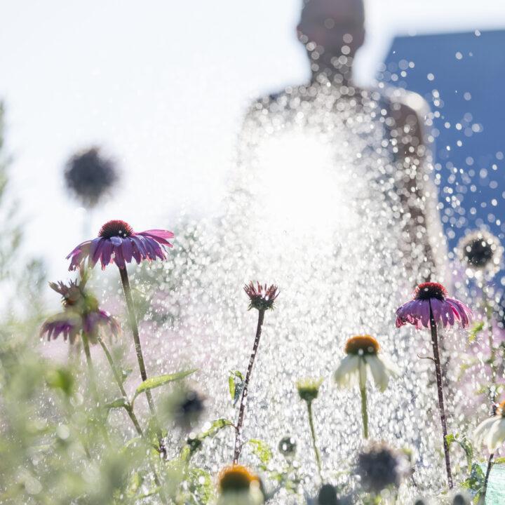 färgbild, dag, Europa, blomma, blomsterrabatt, fokus på förgrunden, trädgård, trädgårdsarbete, horisontell, man, Öland, människor i bakgrunden, rosa, växter, rudbeckia, Skandinavien, sommar, Sverige, vattning