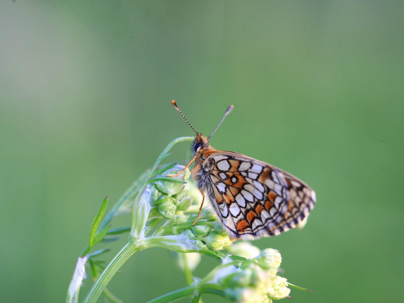 Fjäril, Fjärilar, Insekt, Insekter, Pärlemorfjäril, Blomma, Blommor