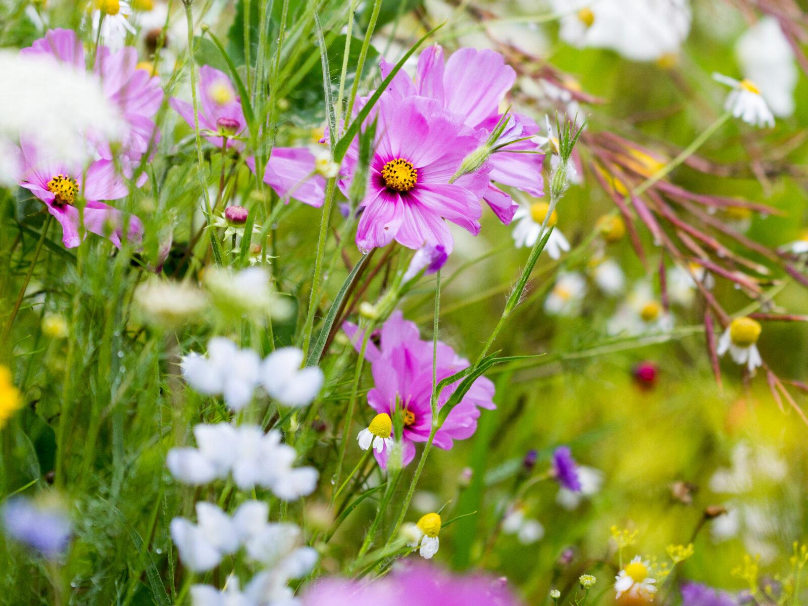 Blommor, prästkrage, äng, blomsteräng, sommar, vallmo