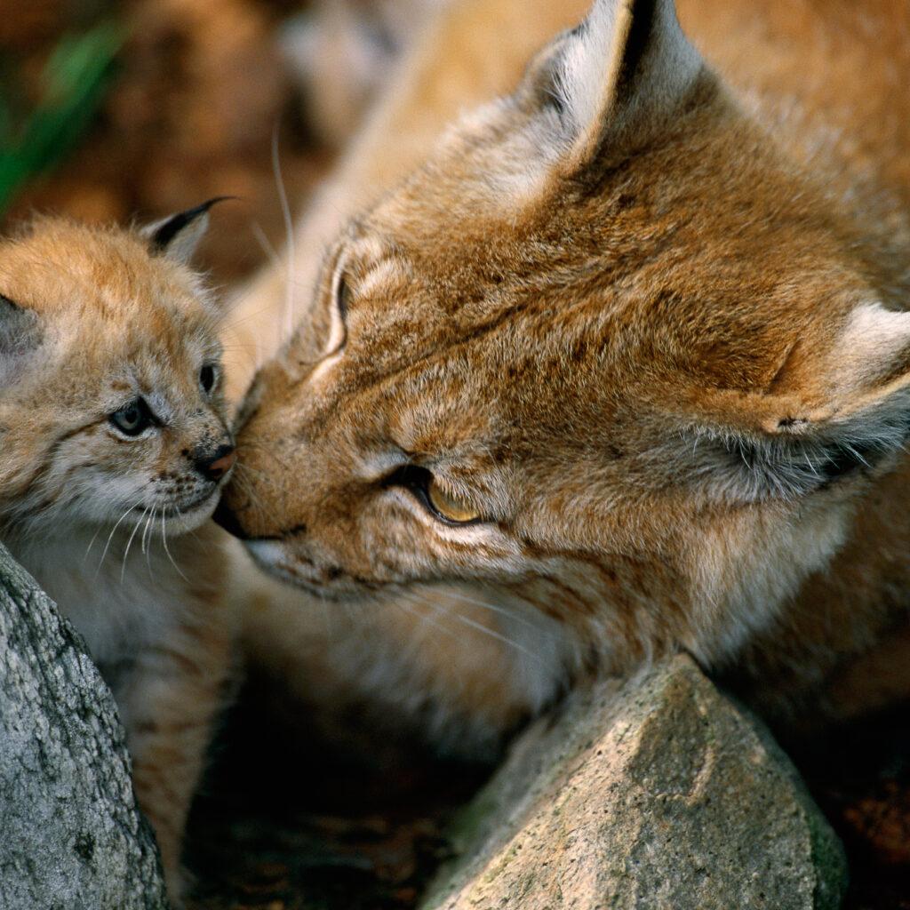 rovdjur,katt,unge,honkattcaptive, carnivore, cat, horizontal, kitten, Langedrag, lynx, mammal, Norway