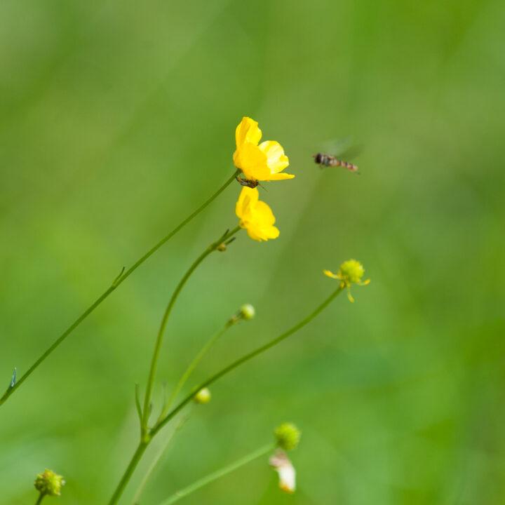 smörblomma,smörblommor,blomma,blommor,blomfluga,blomflugor,insekt,insekter,pollinera,pollinerar,pollinering