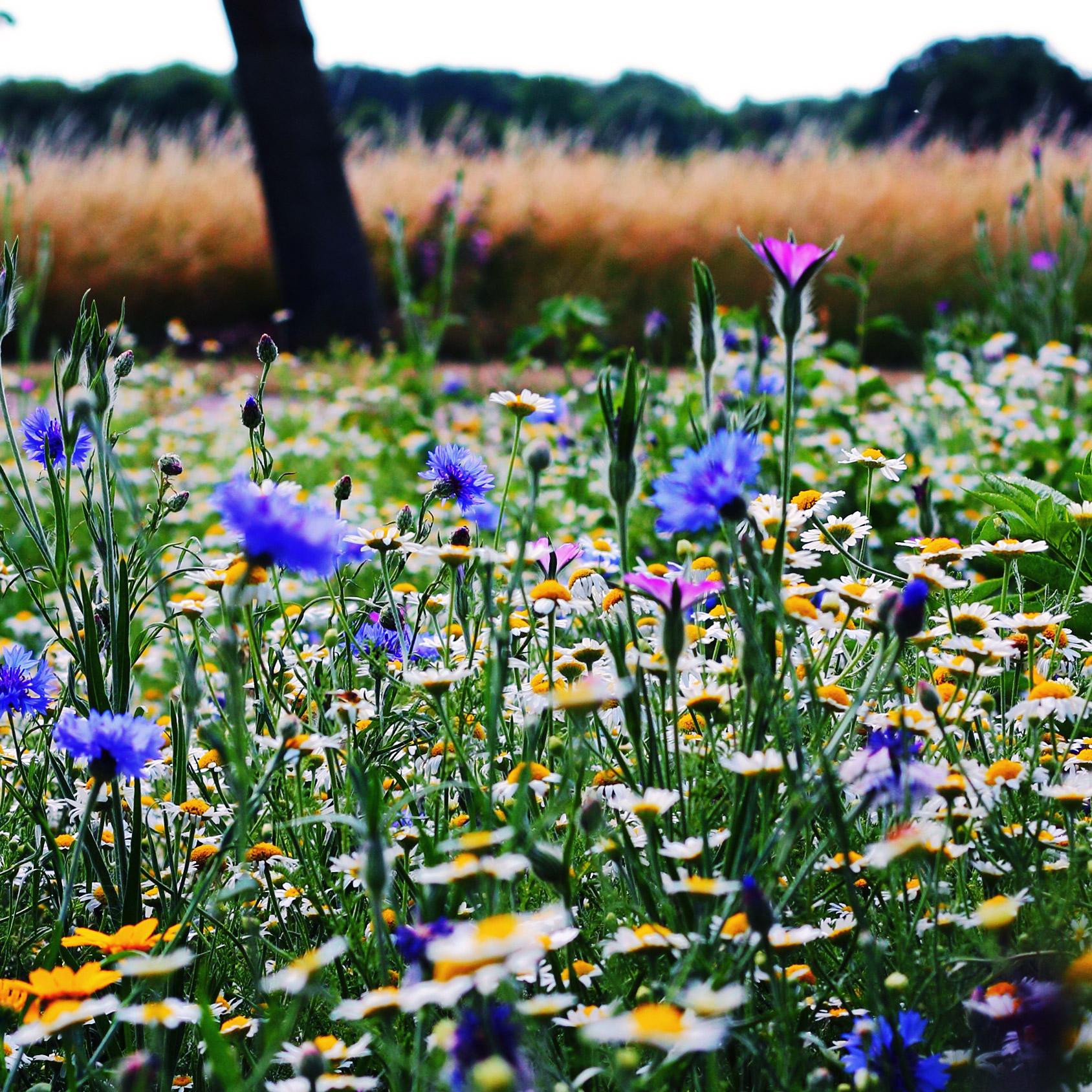 äng, blommor, vildblommor, ängsblommor