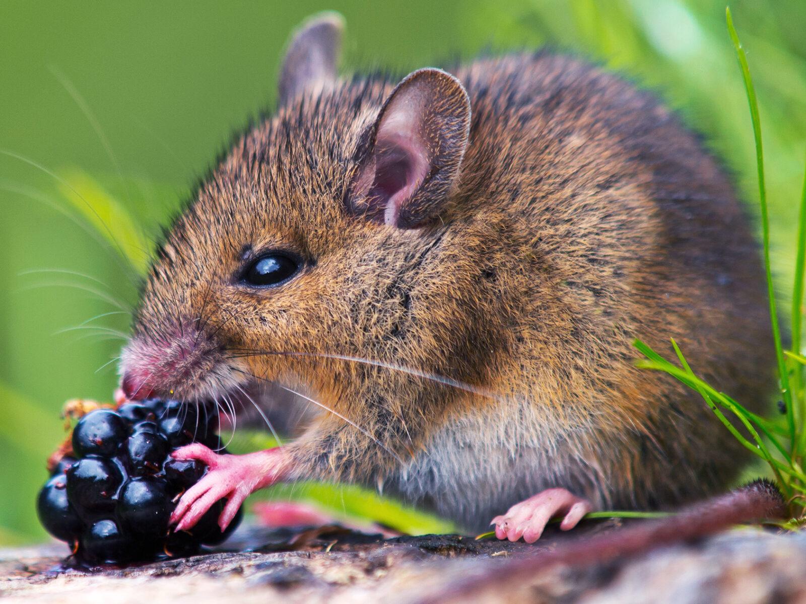 mus, vildmus, äter, björnbär, söt, näringskedja