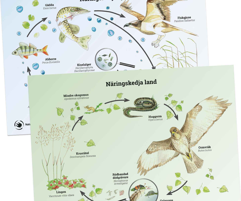 näringskedja, näringskedjor, näring, kedja, ekosystem
