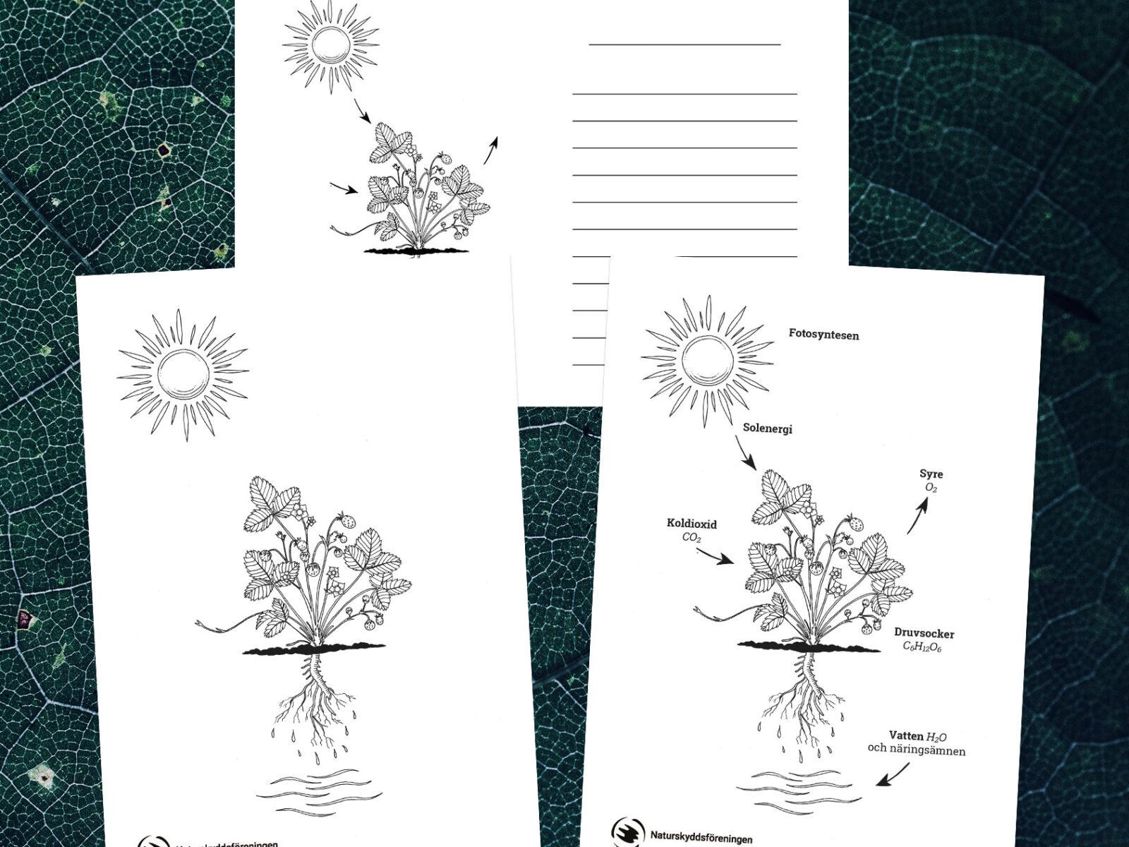 fotosyntes, fotosyntesen, ritblad