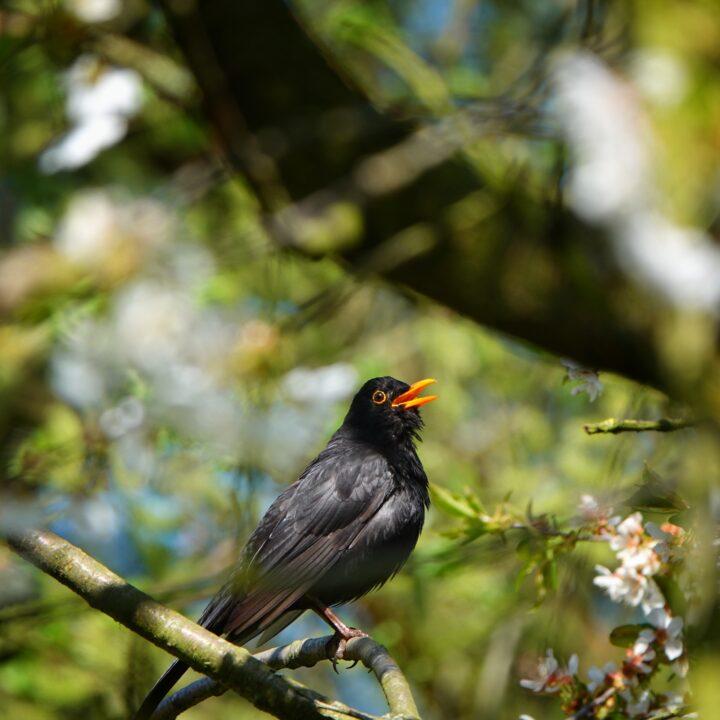 trast,vår,sång,fågel,fågelkvitter,grön,blommor,träd