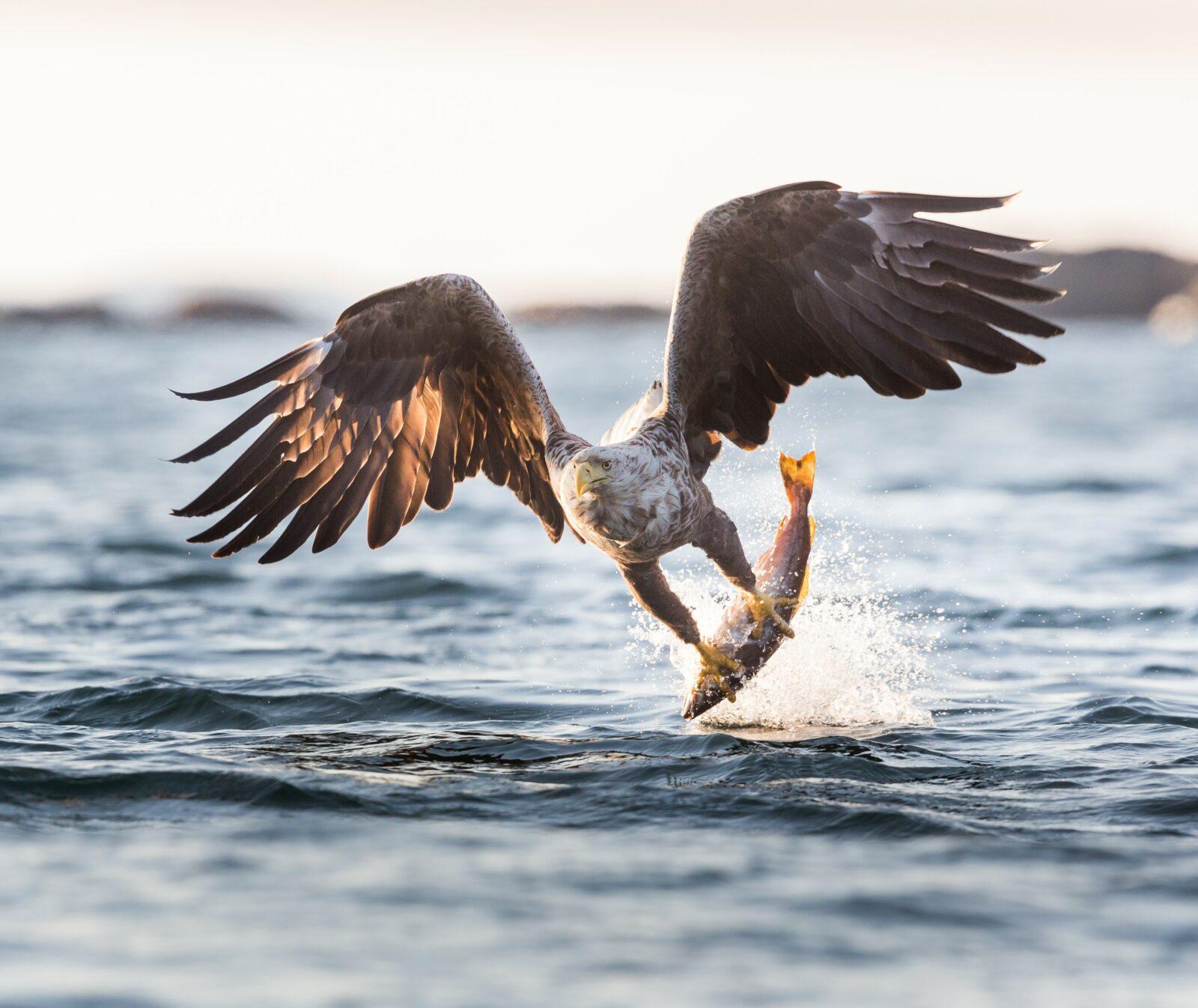 Havsörn, fisk, rovfågel, hav, vatten, sjö, insjö, segrar, projekt havsörn, fågel, fåglar, jakt