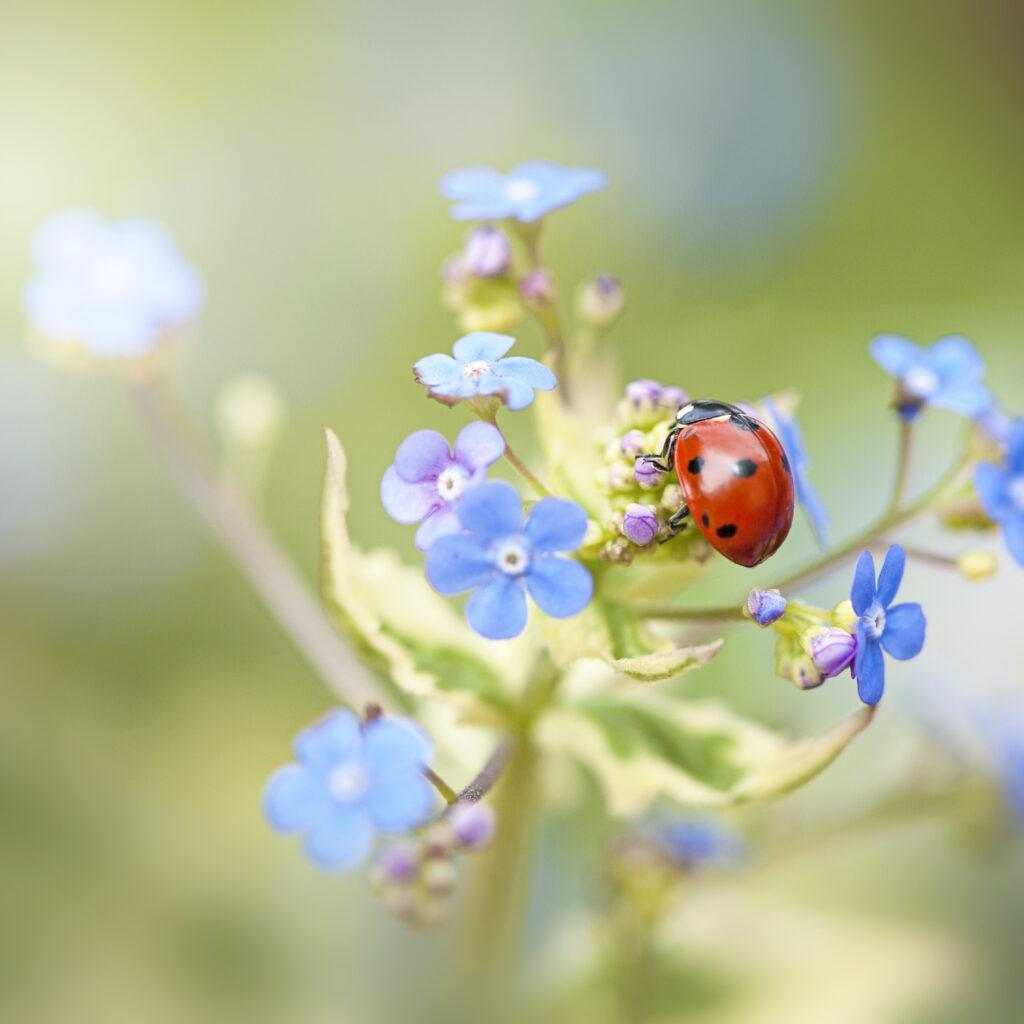 coccinella septempunctata, ladybird, ladybeetle,grön