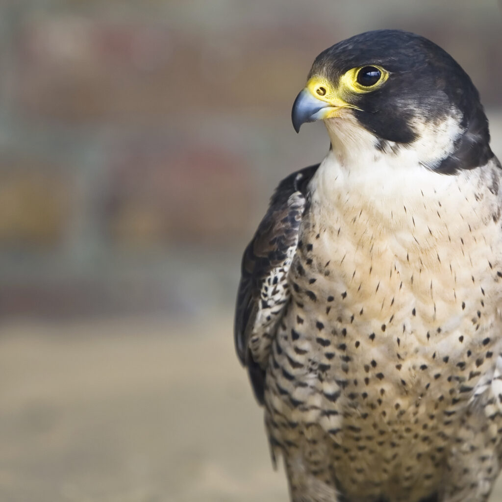 Peregrine Falcon, beak, birds of Prey, feathers, hunter, preditor, wings